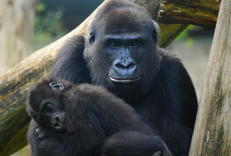 Gorillas_Marieke