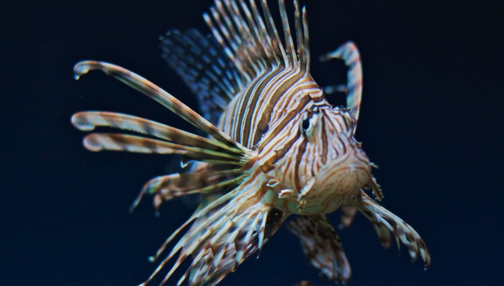 Lionfish_Michael Bentley