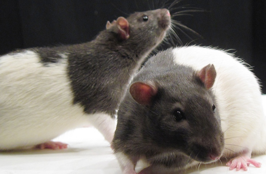 Rats_JasonSnyder