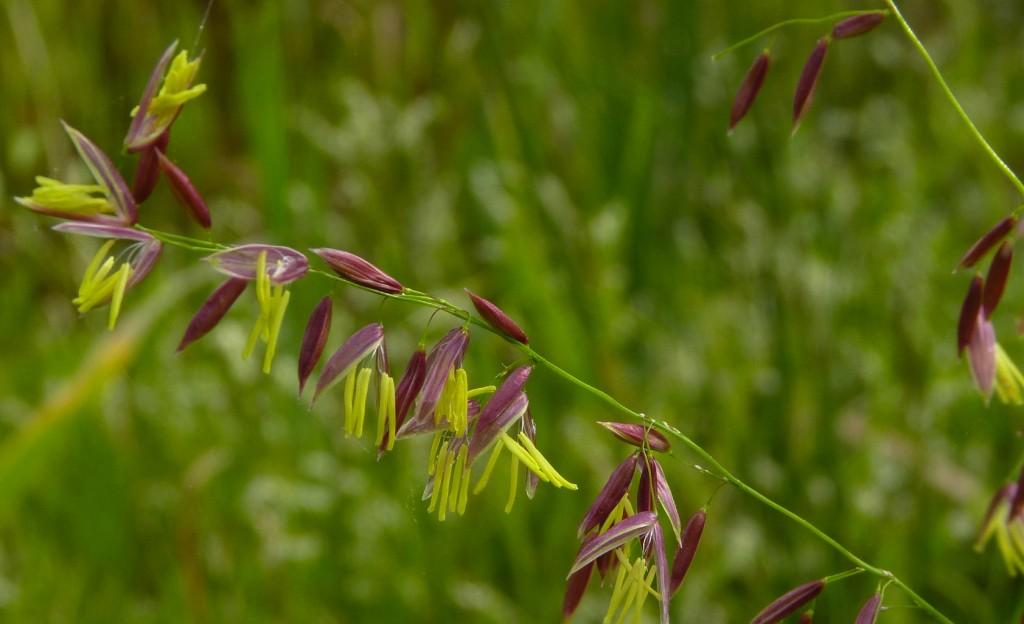 Wild Rice_Dendroica cerulea